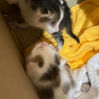白ぶちと黒ぶちの子ネコ