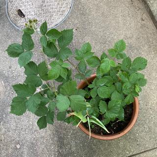 ブラックベリー 鉢植え 実が付いてます