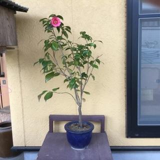 椿の苗❣️花咲きました。