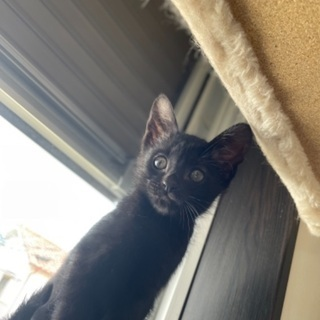 レイちゃん⭐︎可愛い生後2ヶ月⭐︎黒猫メス