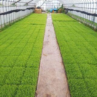 稲の苗(もち米)   「マンゲツモチ」  70枚