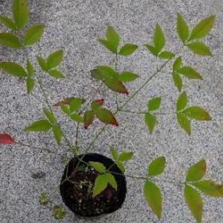 🏠 ステイホーム 🏠 植物   南天(なんてん)の苗木  …