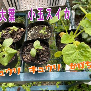 【再募集】野菜の苗 まとめてもらって下さる方