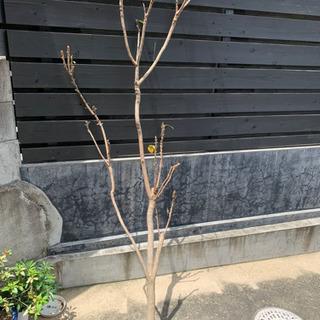 びわの木その1★長さ2mほど