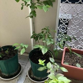 ブルーベリー苗木 あげます。