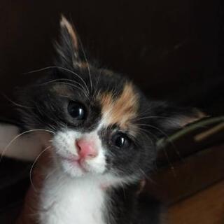 一ヶ月くらいのミケ猫