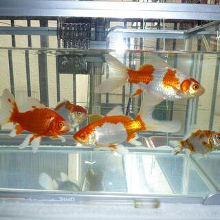 ★金魚5匹 大きさ10cm~18cmまでをお譲りします。