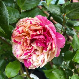 バラ苗 ぎゅうぎゅうに詰まったピンク絞り 蕾付き