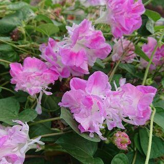 夏のお庭に(^-^)/ 八重咲き朝顔です(^-^)/ 苗に…