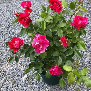 深いピンクの絞り色  多花、強香!素晴らしい薔薇です!