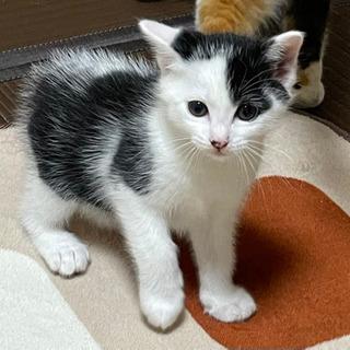 里親募集!生後40日の子猫です。