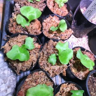 1 観葉植物 リドレイ ビカクシダ