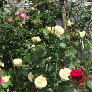 バラ苗 甘〜い香りの白系バラ