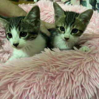 2ヶ月兄弟子猫の里親さん募集