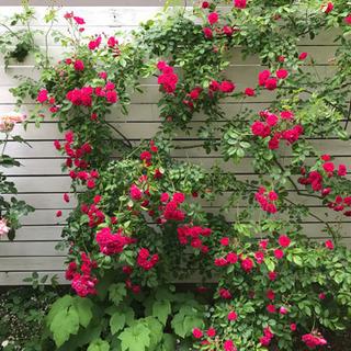 小輪つるバラ キングローズ剪定枝