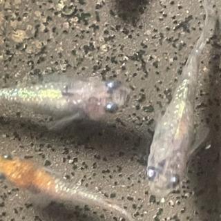月華メダカの卵10-20