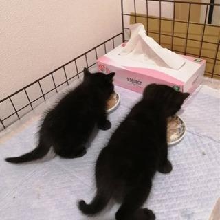 黒猫レディの妹と後から保護された黒猫兄
