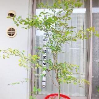ブルーベリー パウダーブルー 苗木 大苗 家庭菜園 果樹