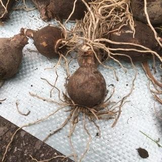 水仙の球根