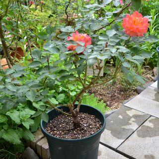 四季咲きバラ【アンネの思い出】樹高50センチ