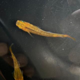 黄金黒燐メダカ卵、産卵床のままで。