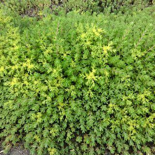 🌟グランドカバー★★セダム★雑草対策、黄色く色ずき綺麗です、画像...
