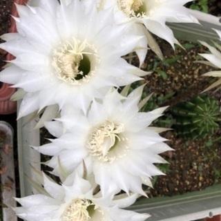 サボテン花が咲きました🌼