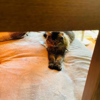 すごく甘えん坊のキジトラ 2歳