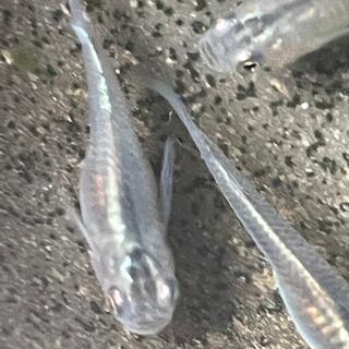 半ダルマ体型カブキメダカの卵10-20