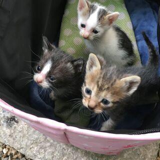 母猫(オッドアイ・推定1才)・子猫里親募集します