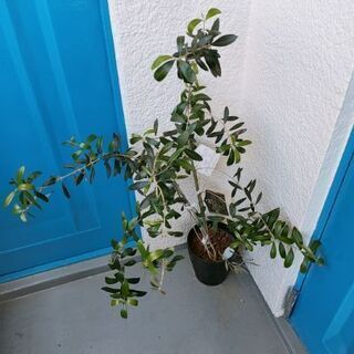 オリーブ 植木