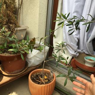 【ネット決済】【お取引済】オリーブの木、鉢ごと譲ります