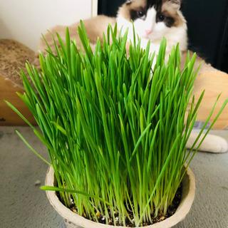 【ネット決済】猫草