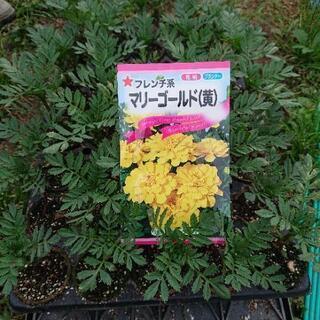 マリーゴールド (黄色)  1株 30円