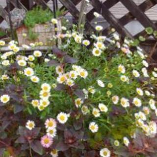 エリゲロン 花の苗