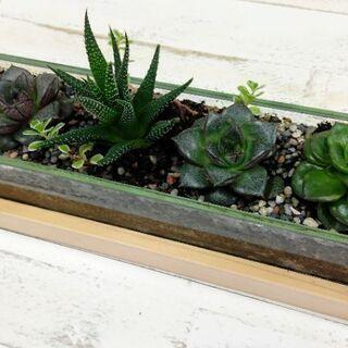 【多肉植物】エケベリア2種・ハオルチア ガラスケースの寄せ植え ...