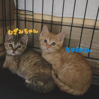 1ヶ月半の兄妹猫さん 2匹一緒のお家へお願いします