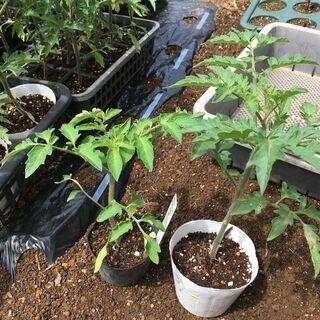 ミニトマトの苗 少しかわった品種です。2株50円 種もあります。