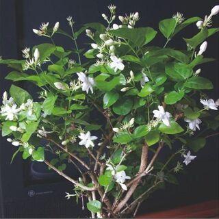 元気な枝一本!Arabian Jasmine (Jasminum...