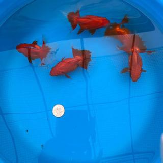 親魚【土佐錦】4歳魚