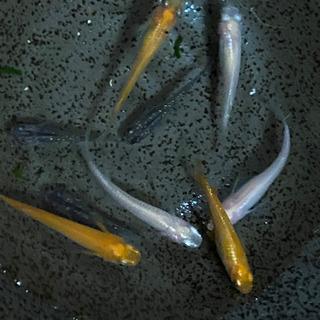 MIX ヒメダカ 白メダカ 夜桜黒ラメ 若魚
