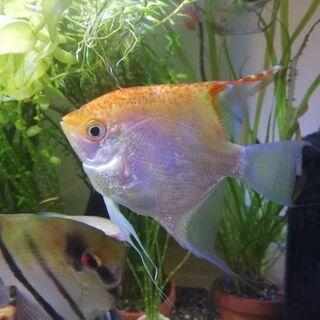 ミックスエンゼル 熱帯魚