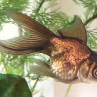 金魚 *お取引中*