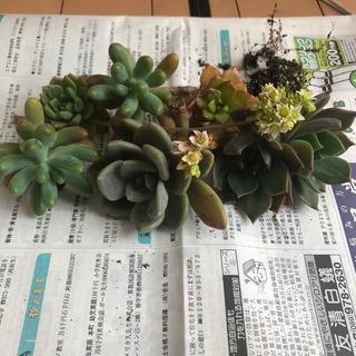 多肉植物5種 7頭 カット、根付き いろいろ