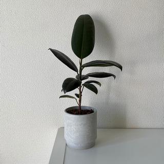 観葉植物 ゴムの木 ハイドロカルチャー植え
