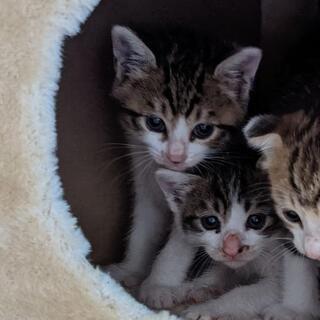 【キャンセル出ました】生後2ヶ月ほどの仔猫