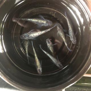 【信濃メダカ】サファイヤ系統 青ラメ体外光メダカ卵20個