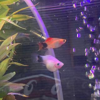 熱帯魚 ミッキーマウスプラティ プラティ稚魚