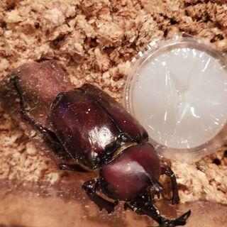 赤カブトムシ2令幼虫 7匹