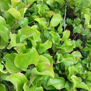 サルトリイバラの葉っぱ 50枚